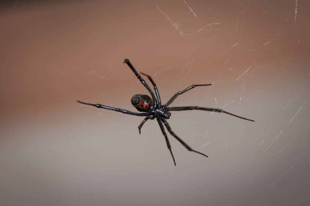 Black Widow Spider control & treatment