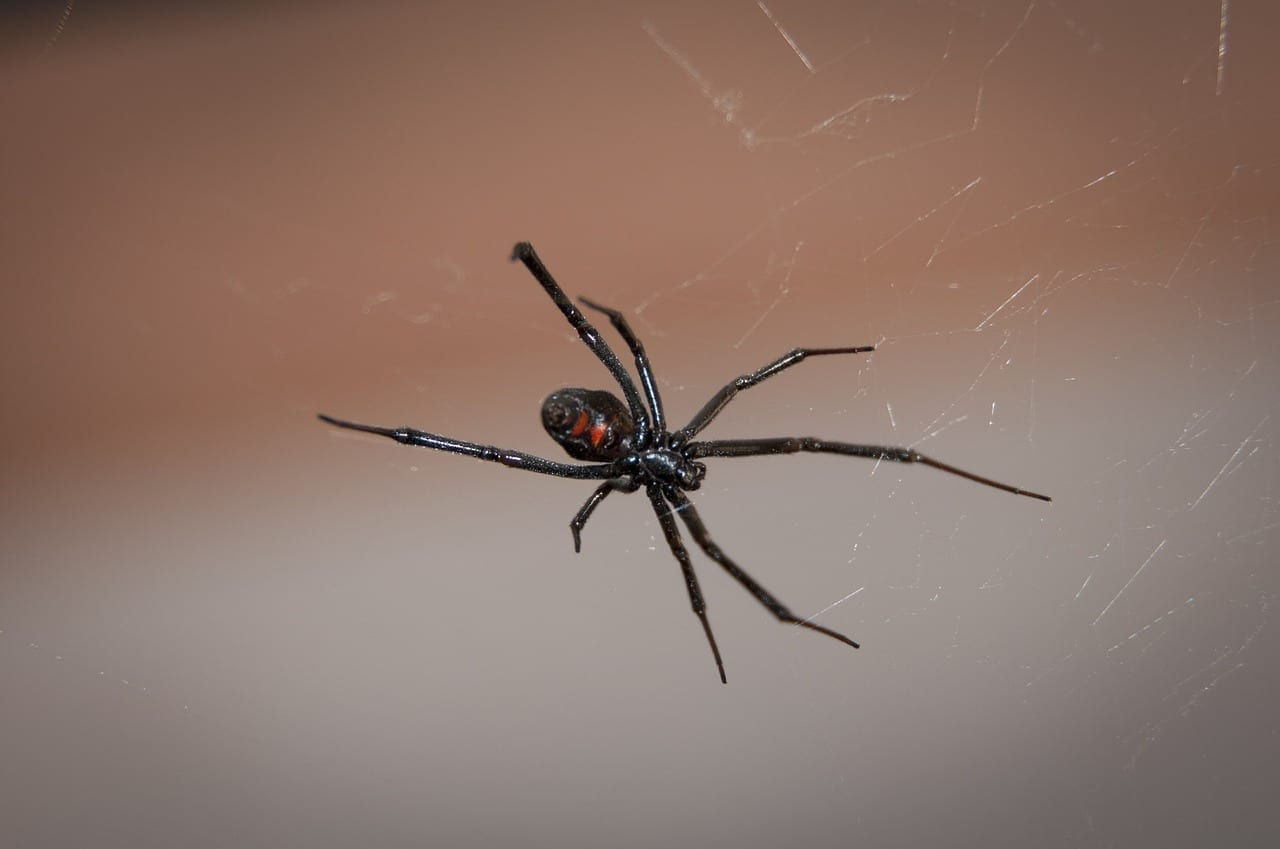 Black Widow Spider control & treatment