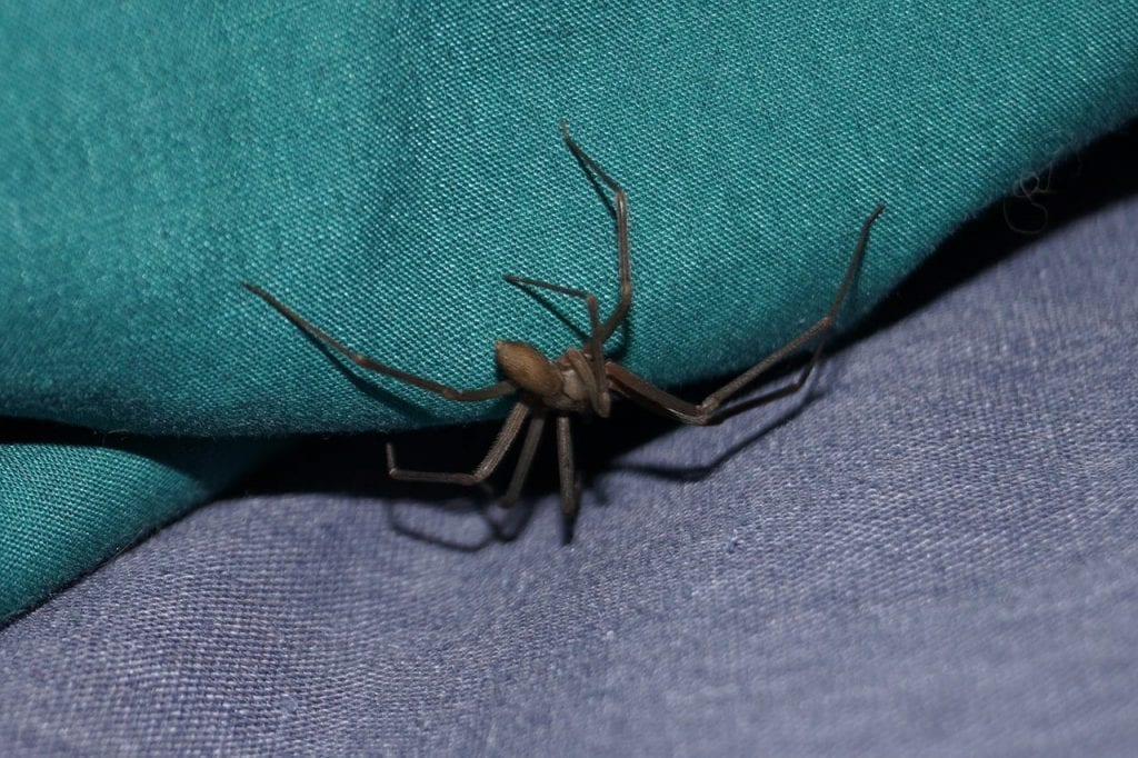 Brown Recluse Spider Omaha & Liincoln