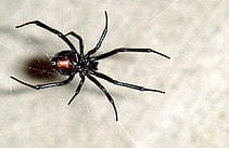 Black Widow Spider Treatment