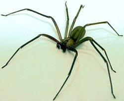 Spiders - Brown Recluse