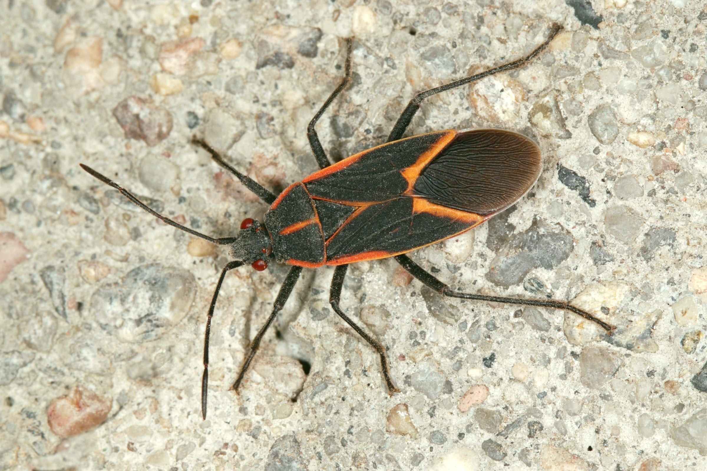 Pests - Box Elder Bug