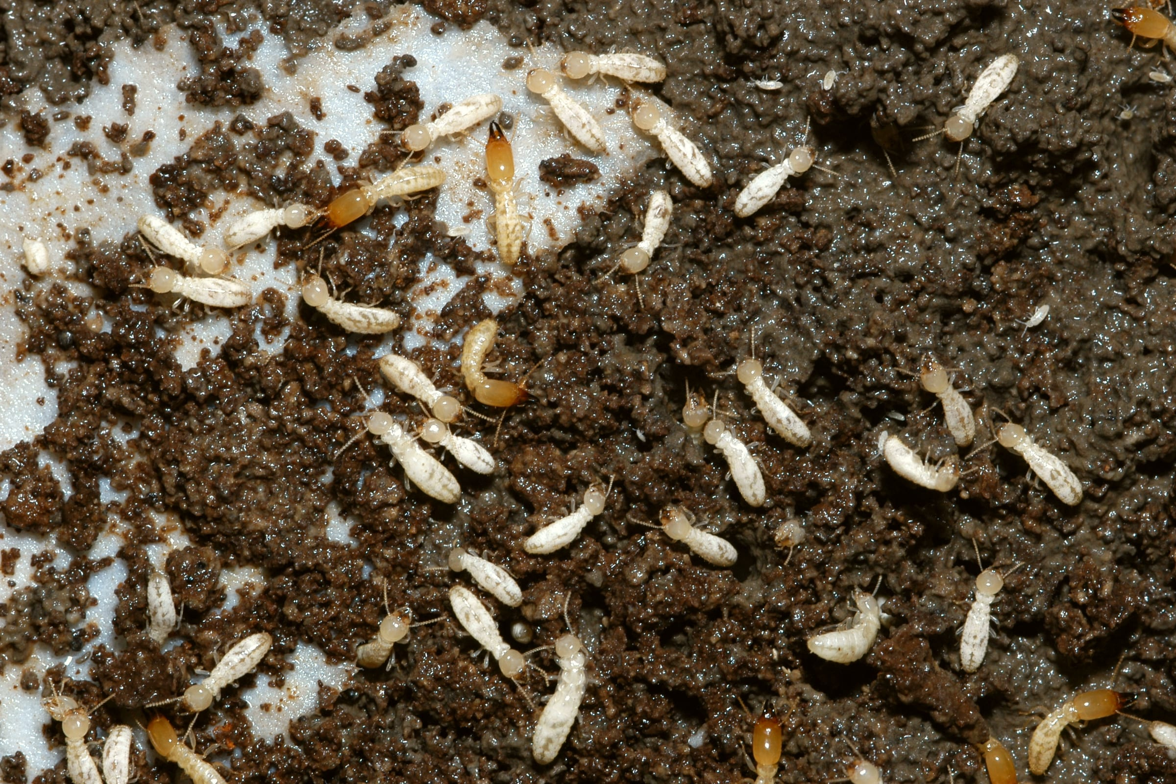 Termites Eating House