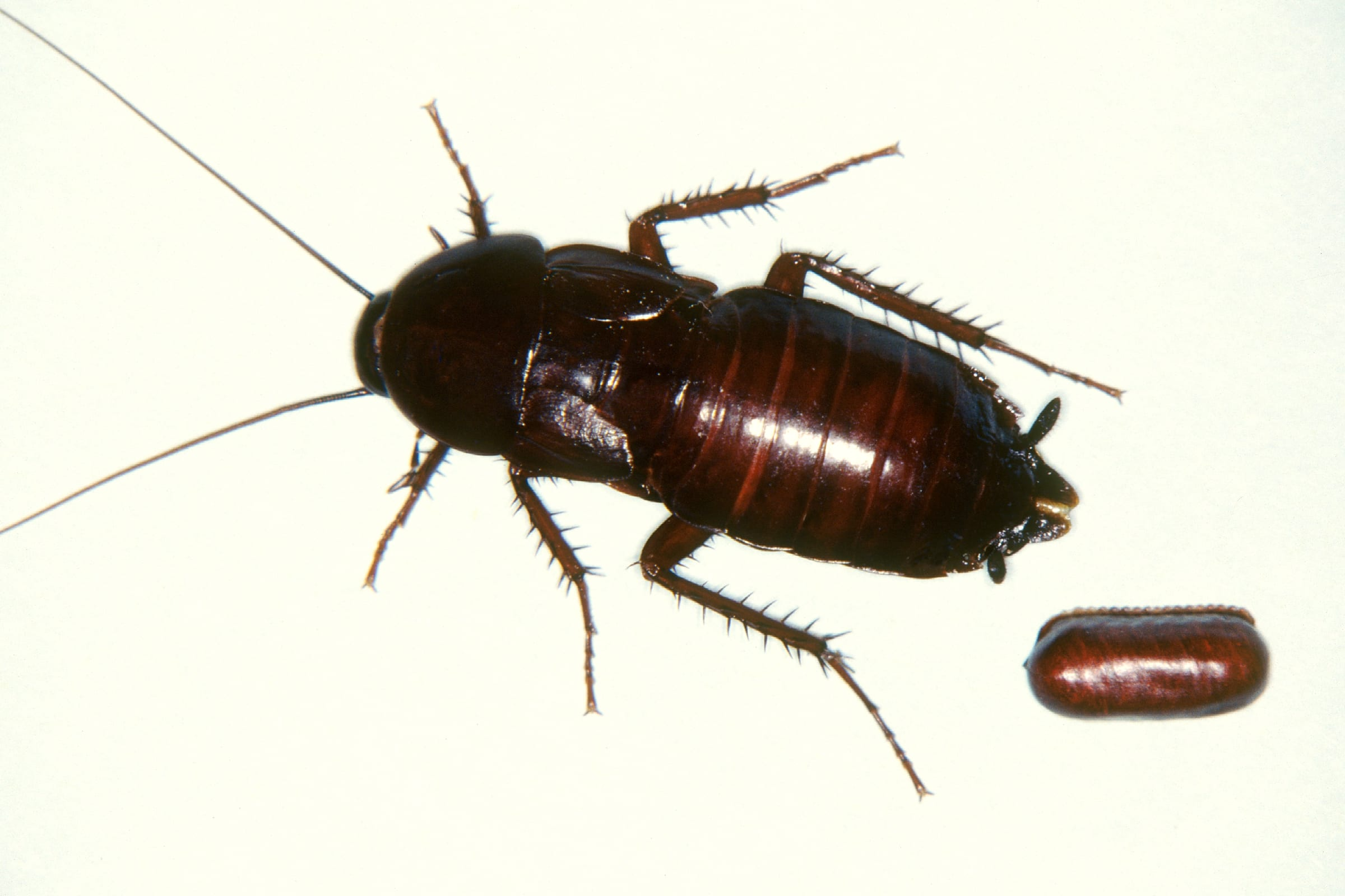 Picture Of Cock Roaches