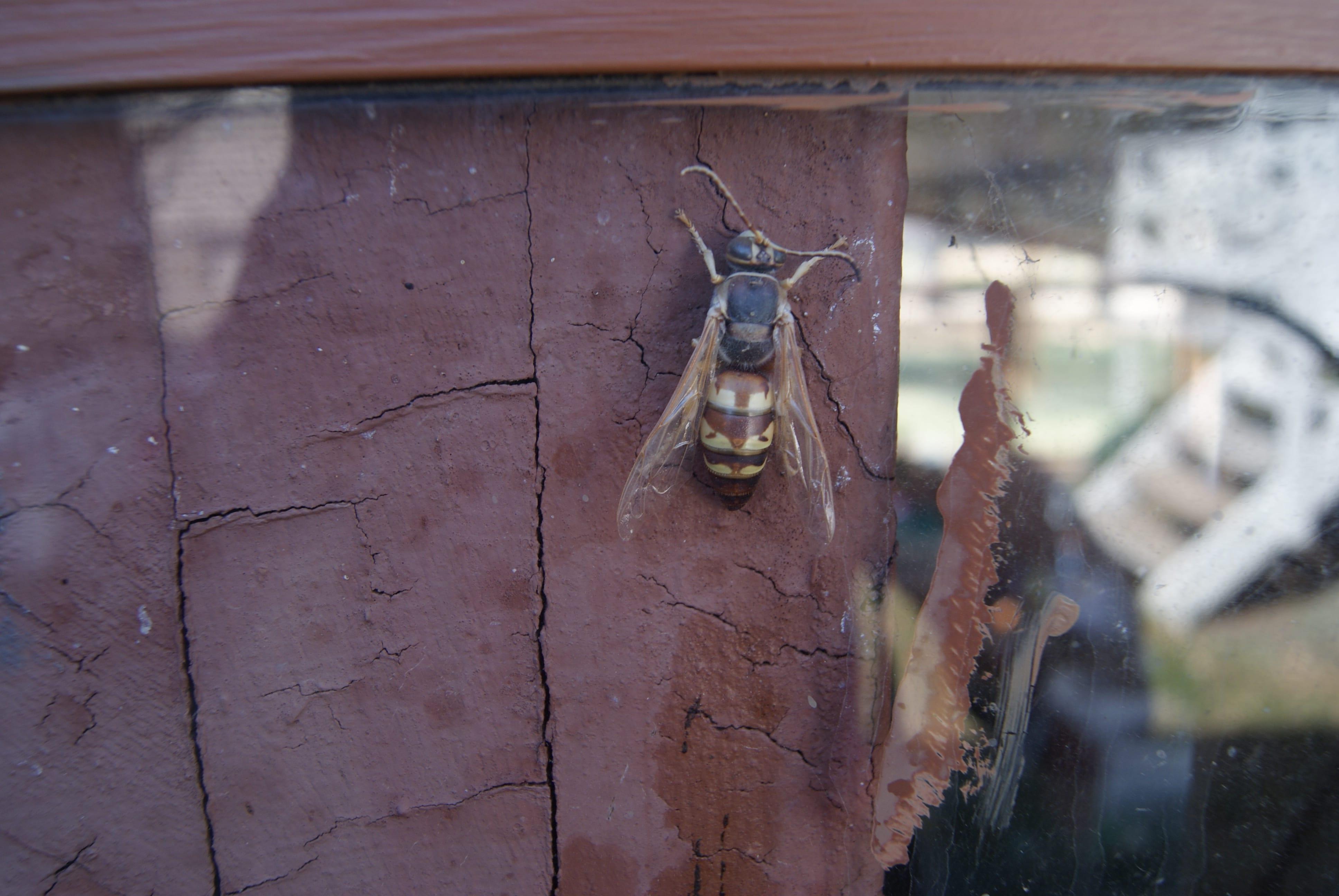 Stingers - Cicada Killers