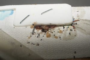 Bedbugs on a mattress.