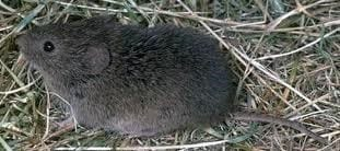 Rodents - Vole