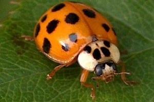 Pests - Asian Lady Bug