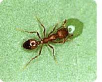 Pharoah Ants control