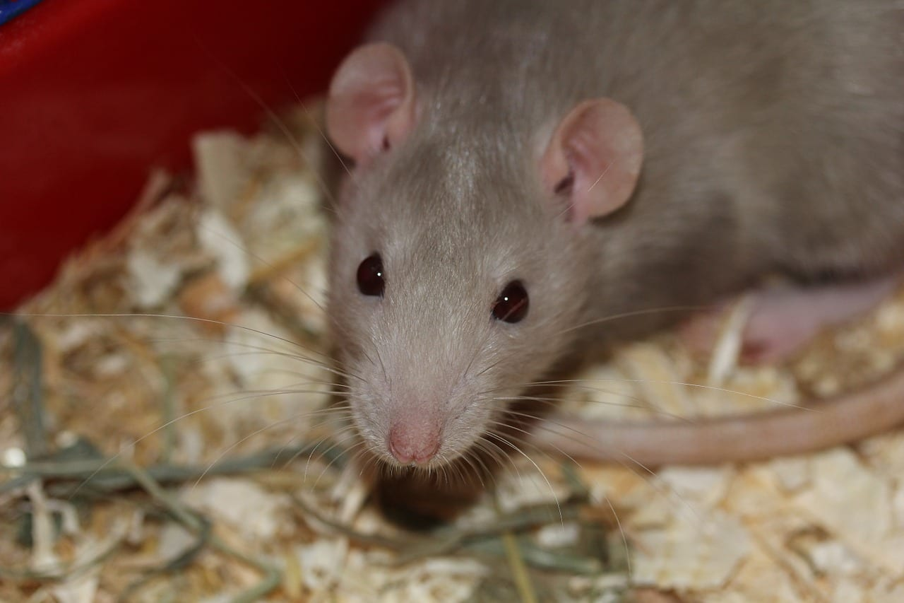 Rat Control Omaha & Lincoln | Rodent Pest Control
