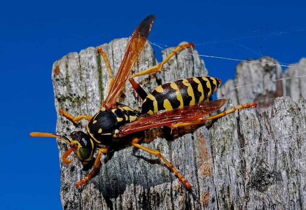 wasp exterminators Omaha & Lincoln, NE