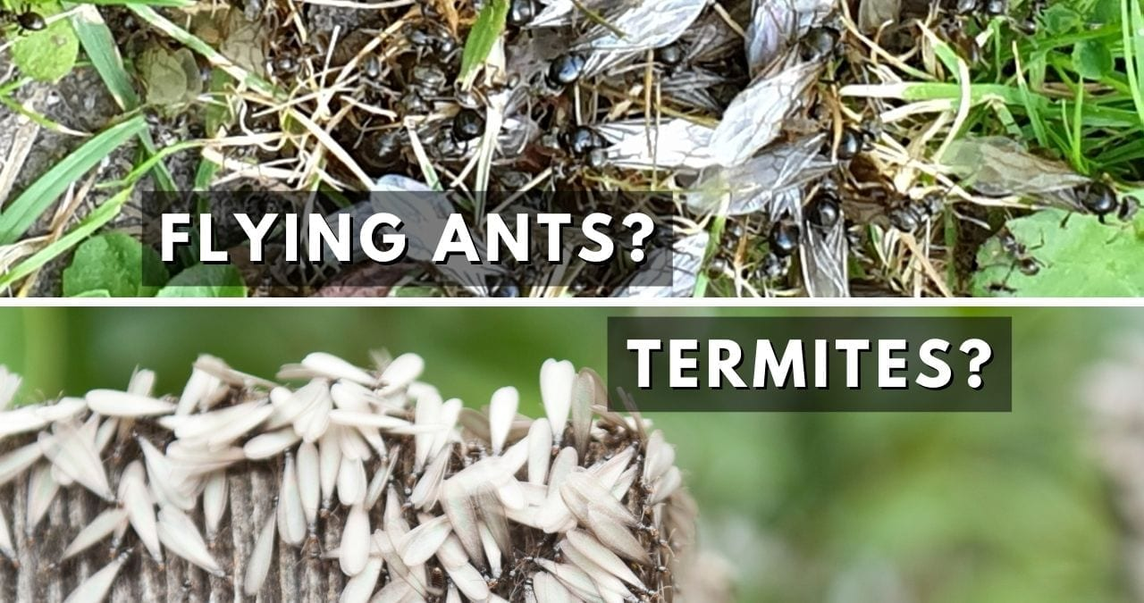 Flying Ants vs Termites Omaha