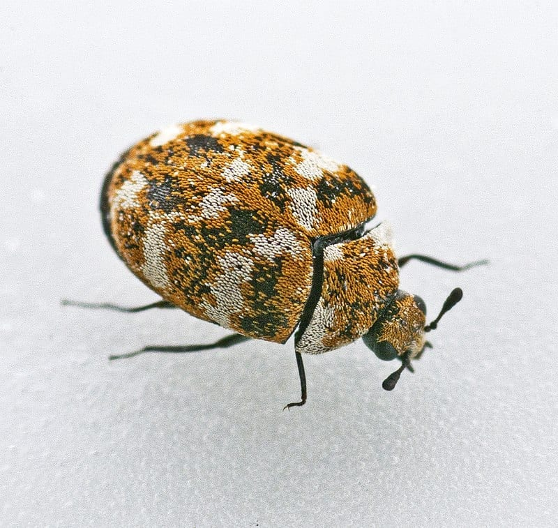 Carpet Beetles Treatment Omaha and Lincoln, NE