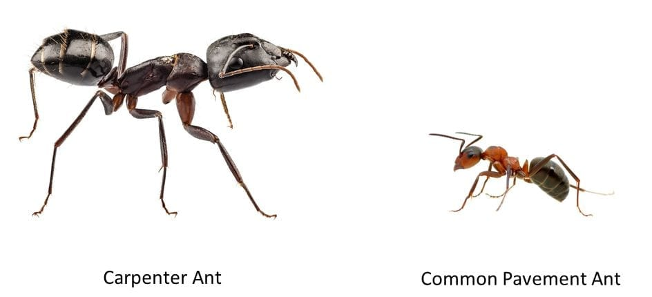 Termites vs carpenter ants Pest Control
