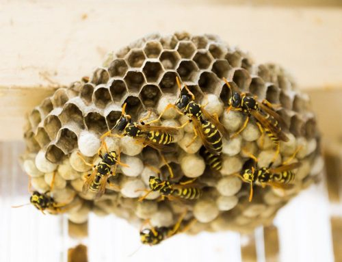 How to Get Rid of a Wasps Nest