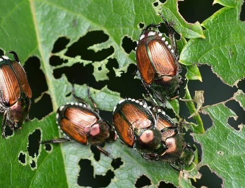 What Plants Do Japanese Beetles Attack?