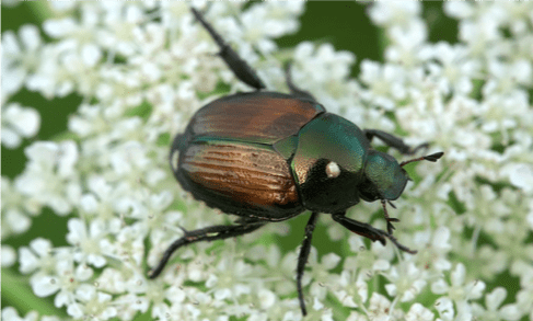 What Attracts Japanese Beetles To Your Yard?